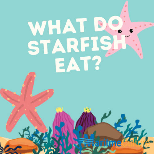 what do starfish eat?