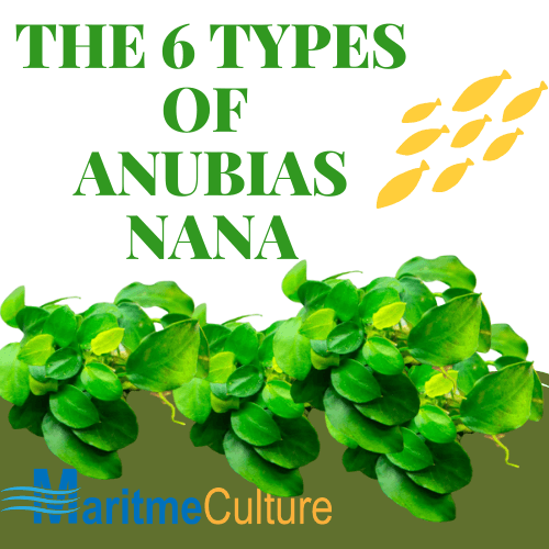 THE 6 TYPES OF ANUBIAS NANA